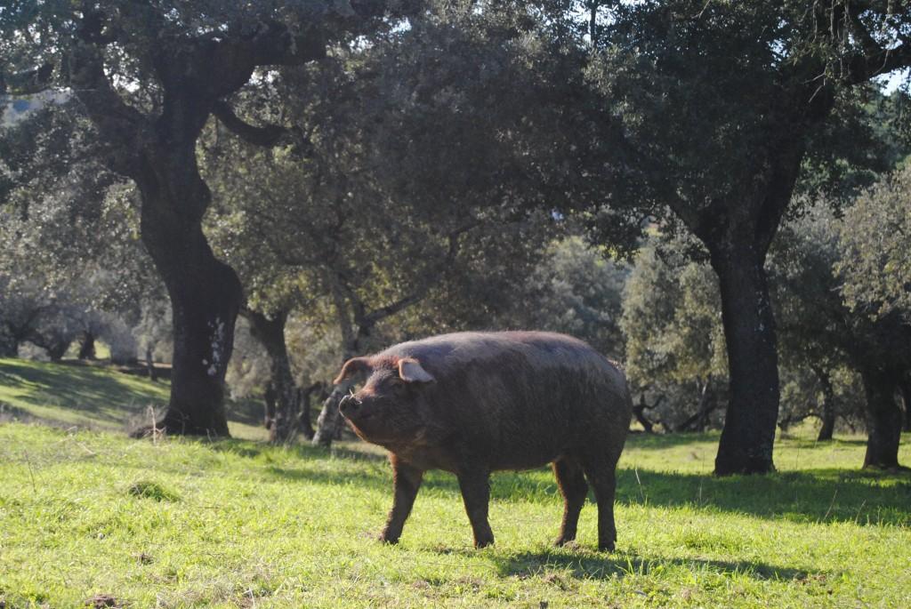 partes-del-cerdo