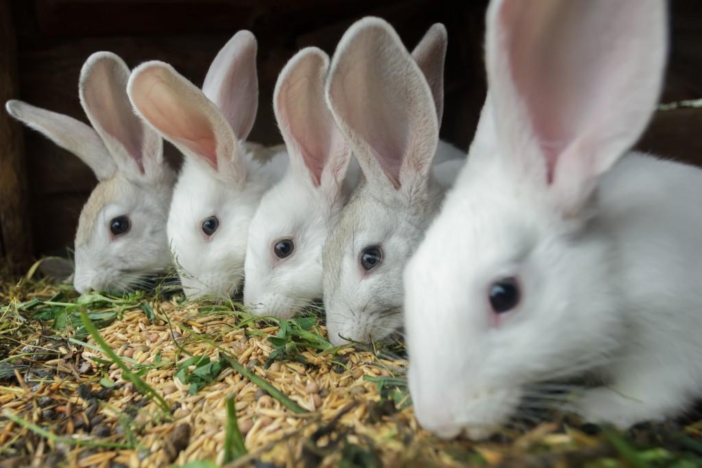jamón de conejo