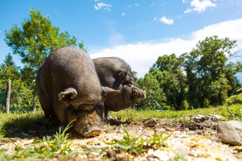 Razas de cerdo pastando