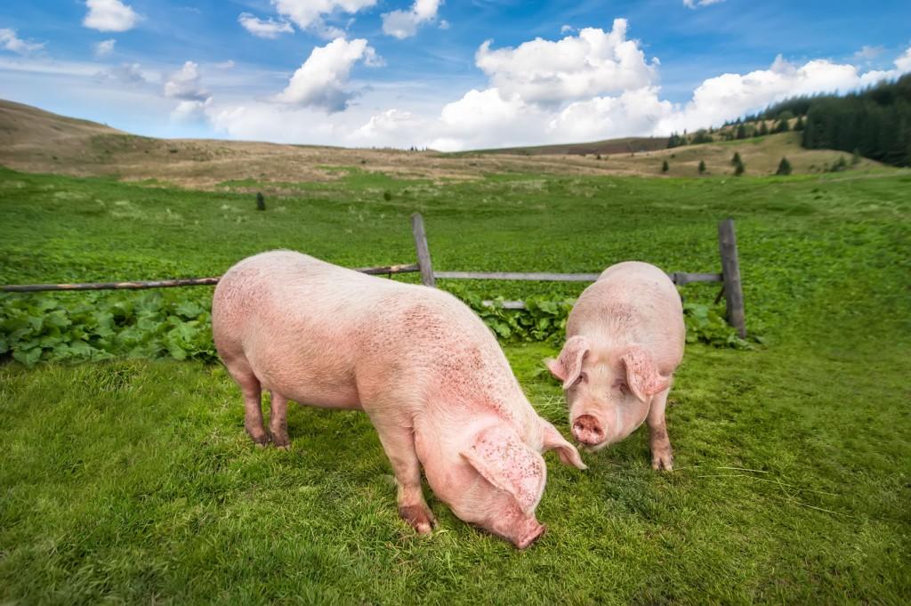 Cerdos en el campo