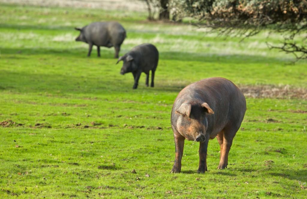 Cerdo iberico en la dehesa